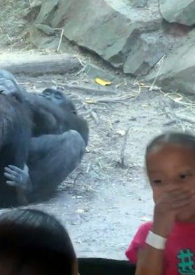 Gorilas Sexo Oral